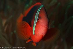 BD-110319-Puerto-Galera-4140-Amphiprion-frenatus.-Brevoort.-1856-[Tomato-clownfish].jpg